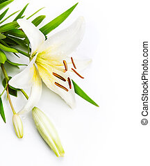 madonna lily isolated on a white background - lily flower...