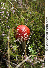 Fly Agaric in the forest with selective focus