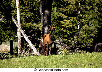 Elk Standing in a Forest of Trees