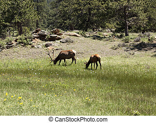 Two Elks Grazing in a Meadow