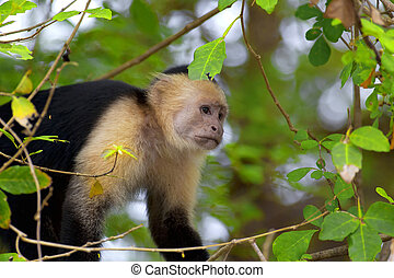 White faced Capuchin sitting in a tree, Guanacaste