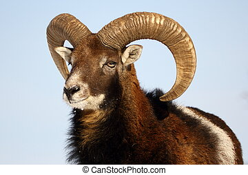mouflon trophy - this is a big mouflon ram, the alpha male...