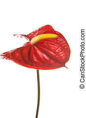 red anthurium flower, isolated on white