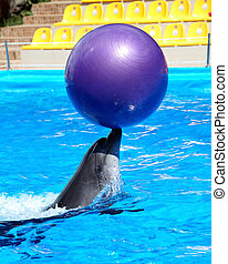 Dolphin in blue water - Dolphin with ball in blue water
