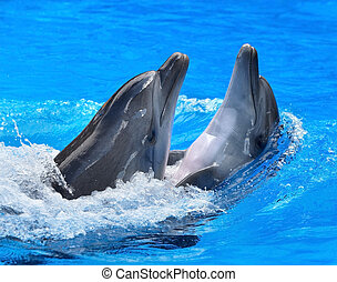 Couple of dolphin in blue water - Couple of dolphin swimming...
