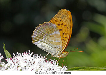 Argynnis paphia, Silver-washed fritillary on a elder bush in...