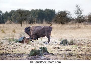 Bison Bison bonasus in the wild nature in national park the...