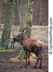 Red deer (maral) in the wild nature