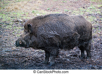 Wild boar (Sus scrofa) in the wild nature in Belovezhsky...