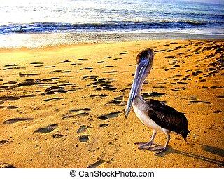 Jalisco Pelican