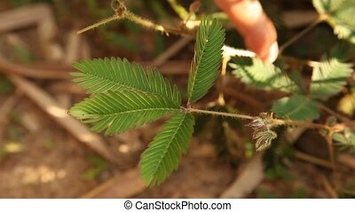 Plant In Amazon Area - Mimose Mimosa pudica