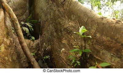 Tree In Jungle - Rain Forest, South America, Peru