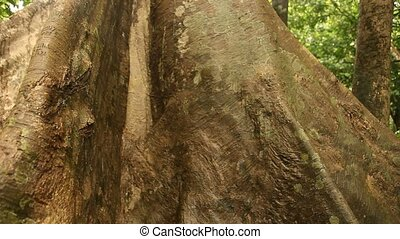 Big Tree In Jungle - Rain Forest, South America, Peru