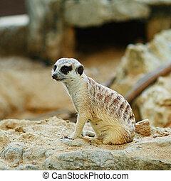 Suricate - small grey suricate sitting on a sand