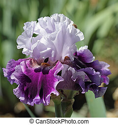 dark and light violet bearded iris, Garden of Iris in...