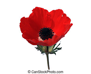 red poppies on a white isolated background