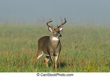 Whitetail deer buck in a foggy field - Large whitetailed...