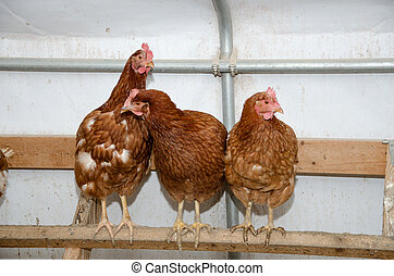 Chickens in a brooder house - Chickens perched inside a...