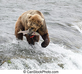 Alaskan brown bear fishing for salmon at Brooks Falls in...