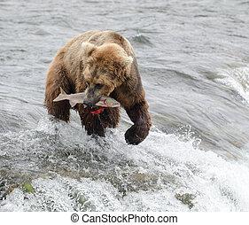 Alaskan brown bear fishing for salmon at Brooks Falls in...