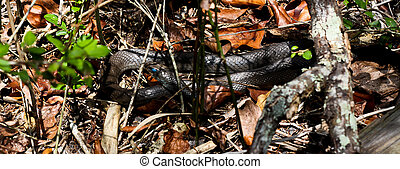 Shedding Snake - A black snake about to shed with milky eyes