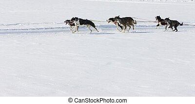 Sled dog Race in Lenk / Switzerland 2012