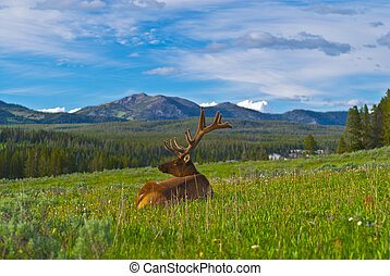 Male elk with large antlers - Beautiful Majestic Wild Male...
