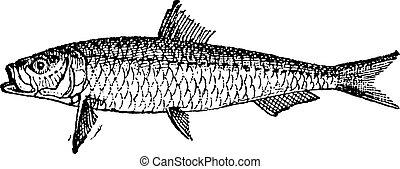 gravure,  pilchard,  sardine, ou, vendange