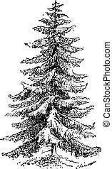 Norway Spruce or Picea abies vintage engraving - Old...