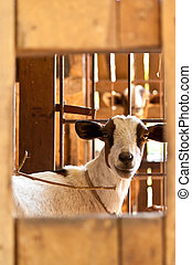 goat in cage - a white goat in cage through window view