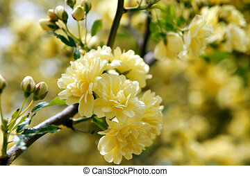 Yellow Rosa Banksiae close-up It was taken by Japan in the...