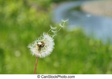 Dandelion fluff (close-up). It was taken by Japan in the...