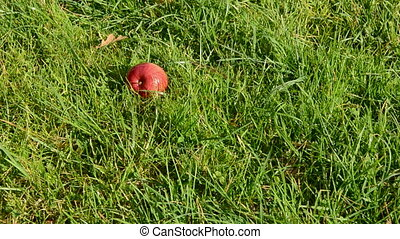 autumn apple fall down on the grass