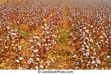 Cotton Bolls - Ripe Cotton Bolls On Branch Ready For...