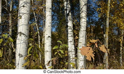 autumn birches and wind in the golden foliage