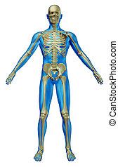 Human Skeleton - Human skeleton and body with the skeletal...