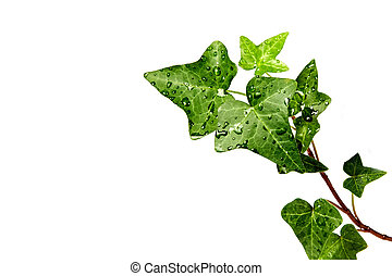 Herb hedera in dewdrops on a white background