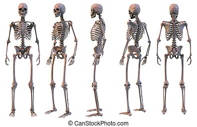 Skeleton 5 views - 3D rendering. Five views of human...