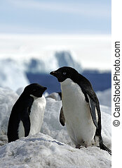 Adelie Penguin - Adelie penguins photographed during an...