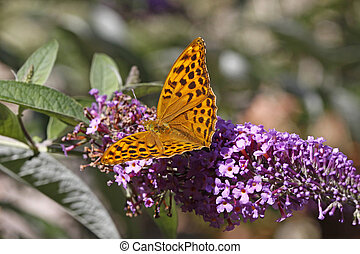 Argynnis paphia, Silver-washed fritillary on Buddleja...