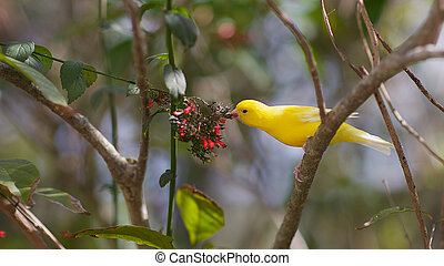 A song bird similar to a Canary perched on a tree branch