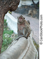 thai monkey - trained thai monkey for coconut farm in...