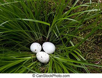 White eggs in grass