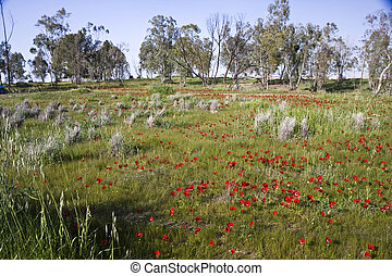 Trees in a field of flowers - Trees and red Anemone flowers...