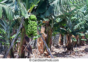 Banana plantation at La Palma, Canary Islands of Spain