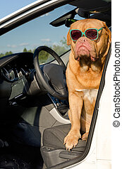 Dog driver inside the car - Dog driver with sunglasses...