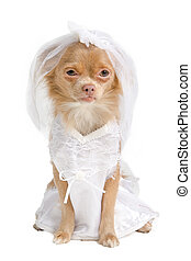 Chihuahua bride - Chihuahua puppy dressed as bride in white,...