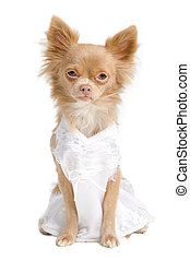 Chihuahua bride - Chihuahua dog with bride's dress with no...