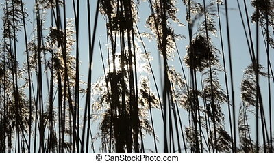 winter reeds and sun motion background