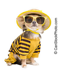 Summer chihuahua - Chihuahua dressed with t-shirt, straw hat...